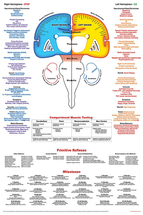 Dry-Erase Poster of the Brain with Primitive Reflexes and Milestones