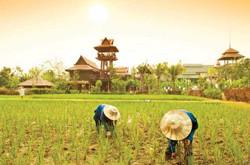 Siripanna Rice Fields