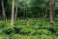 Araksa-Tea-Garden-Sensory immersion