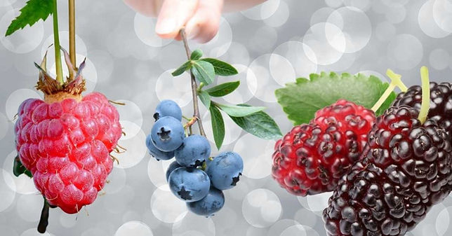Organic fruit trees berries & citrus trees Perth
