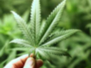 cannabis-foglia-marijuana.jpg