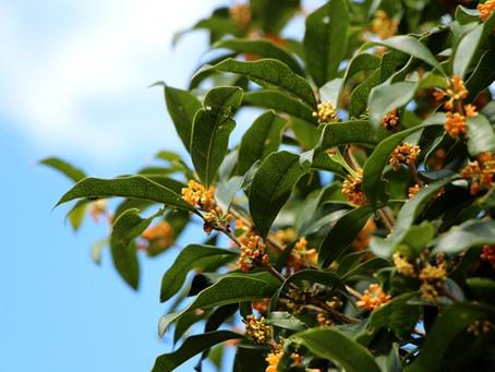 秋が広がると、熟成純米酒の酒粕の季節