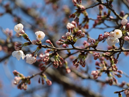 桜の季節と、ミニ酒粕プレゼント