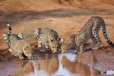 4-nov-finalist-cheetahs-x-3-drinking-tom