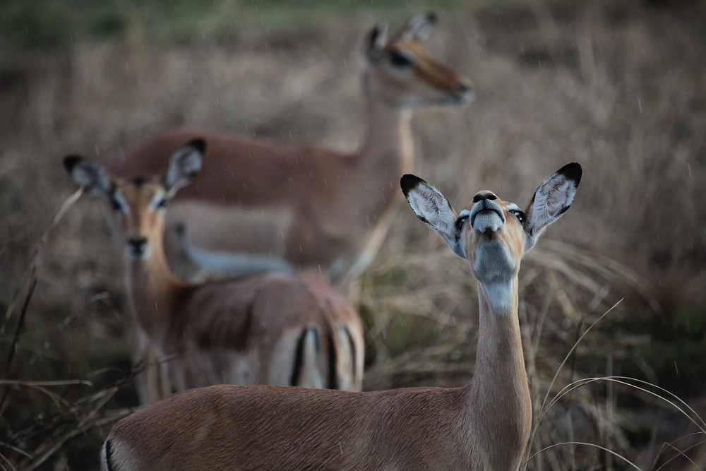 Female impala sniff the rainy air in Gorongosa National Park, Mozambique. Photo by Robert Pringle