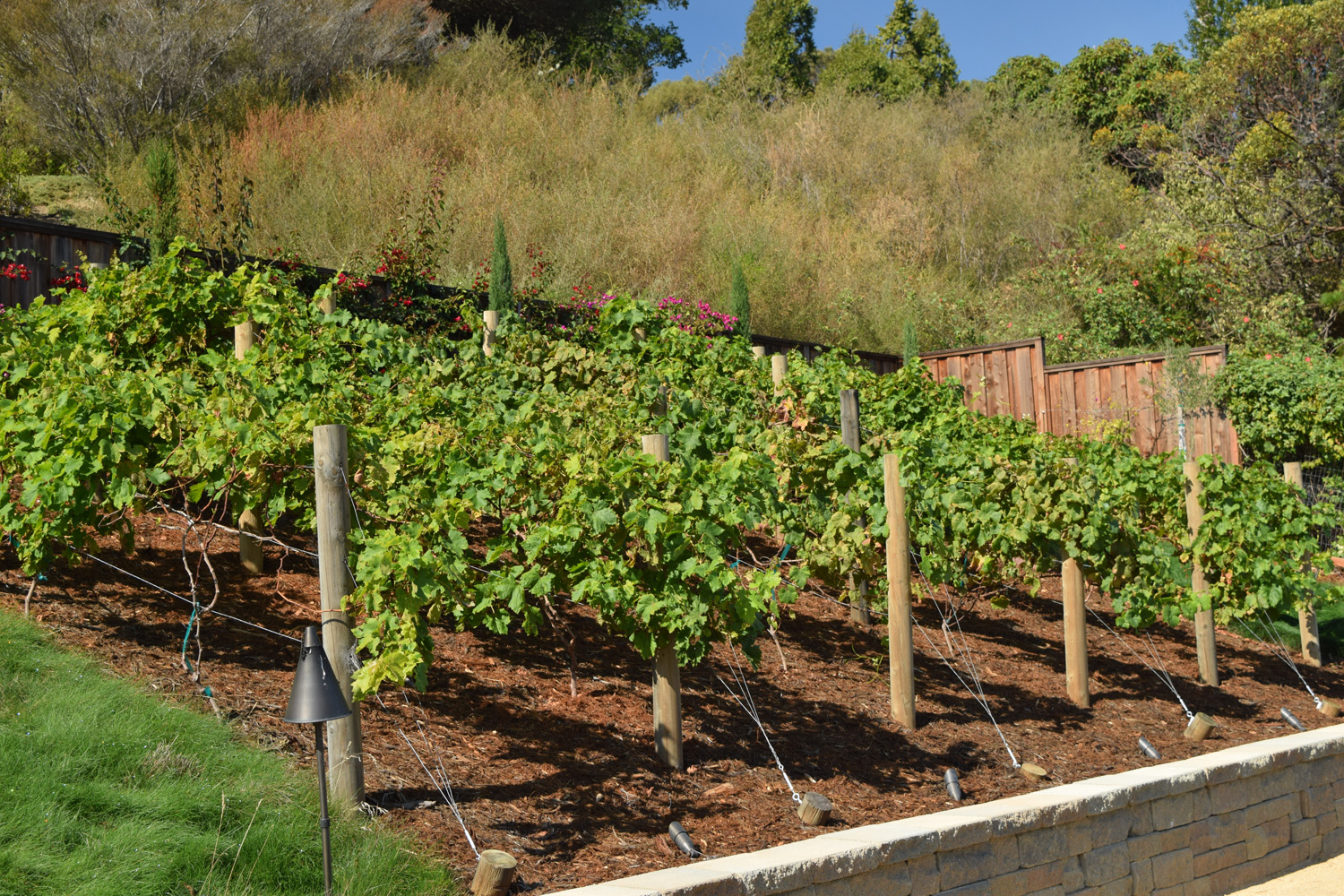 Backyard Vineyard