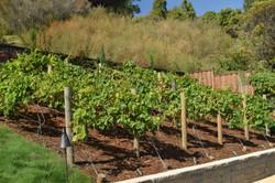 Backyard Vineyard