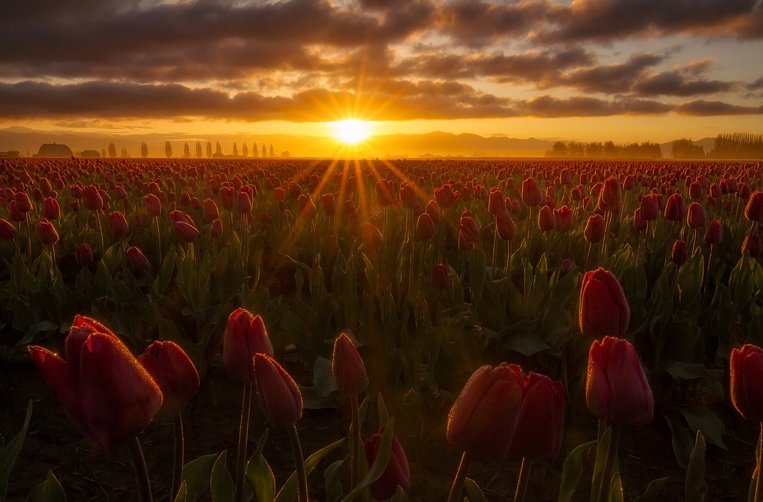 Tulip Sunrise