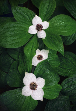 Spring Bunchberry
