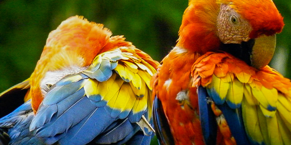 Macaws - Mayan Ruins of Copan, Honduras.