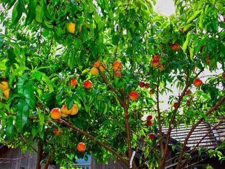 Peaches in Portland Oregon.