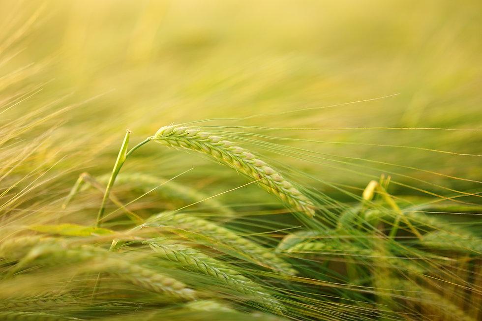 barley-2117454.jpg