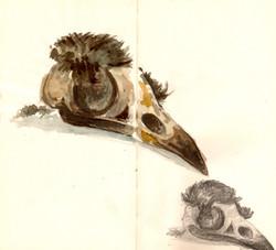 estudio del craneo de un ave