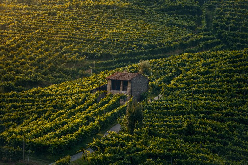 Vigneto vineyard prosecco colline valdobbiadene