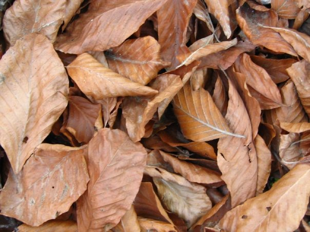 The dry leaves