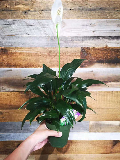 PEACE LILY 4''