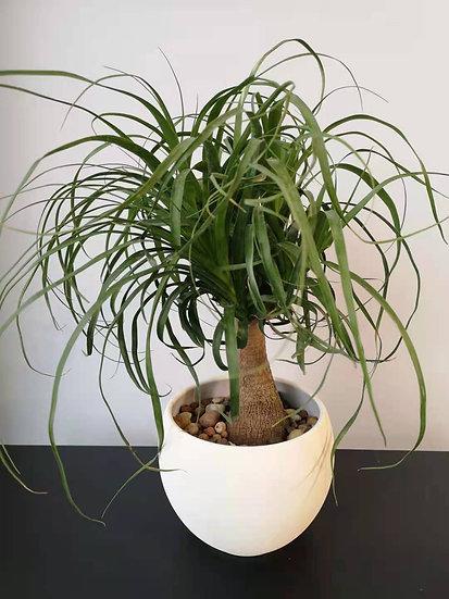 PONYTAIL GIFT PLANT SET