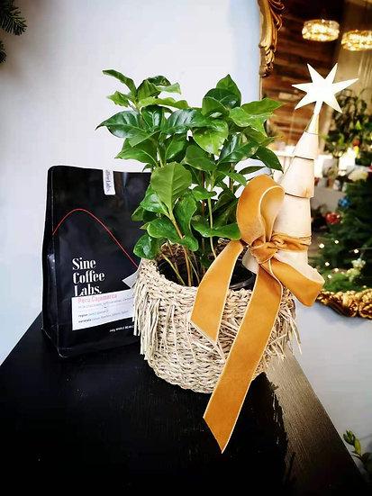 COFFEE PLANT BASKET