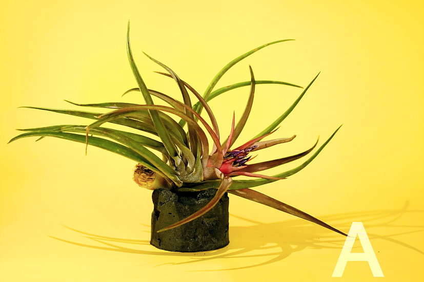 AIR PLANT ASSORTED