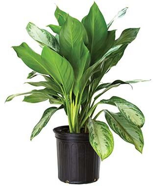 AGLAONEMA SILVER BAY(CHINESE EVERGREEN)