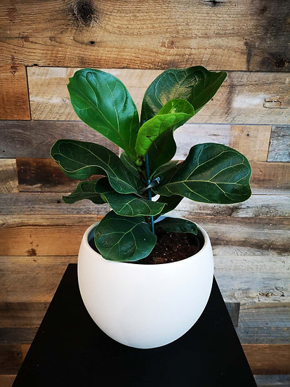 FIDDLE LEAF FIG IN WHITE POT