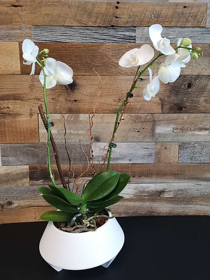 PHALAENOPSIS ORCHID POT  (Sold )