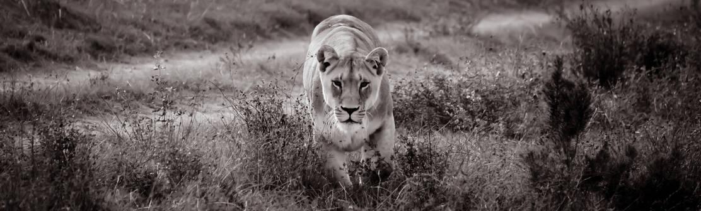 Lionne safari afrique du sud