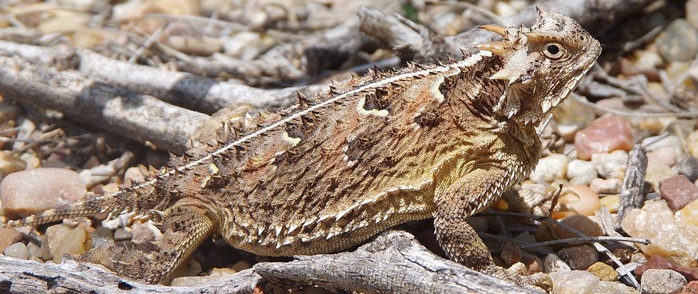 Texas Horny Lizard (Phrynosoma cornutum)