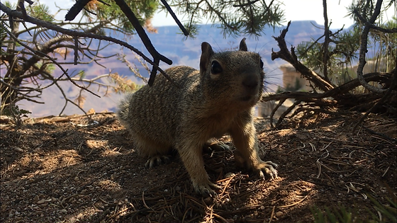 A squirrel and the Grand Canyon