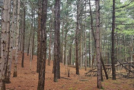 Pine plantation forests