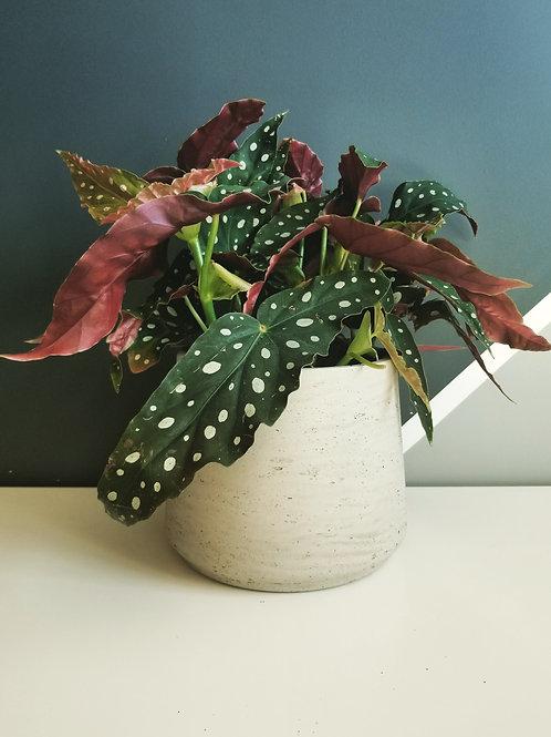 Begonia Maculata (Polka Dot)