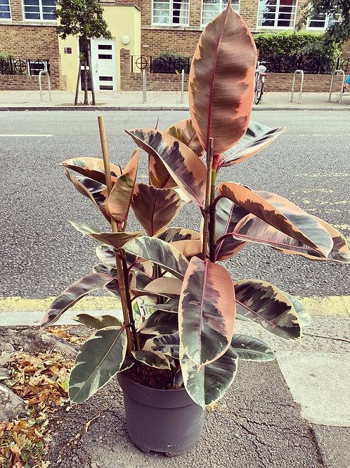 Ficus Belize XL