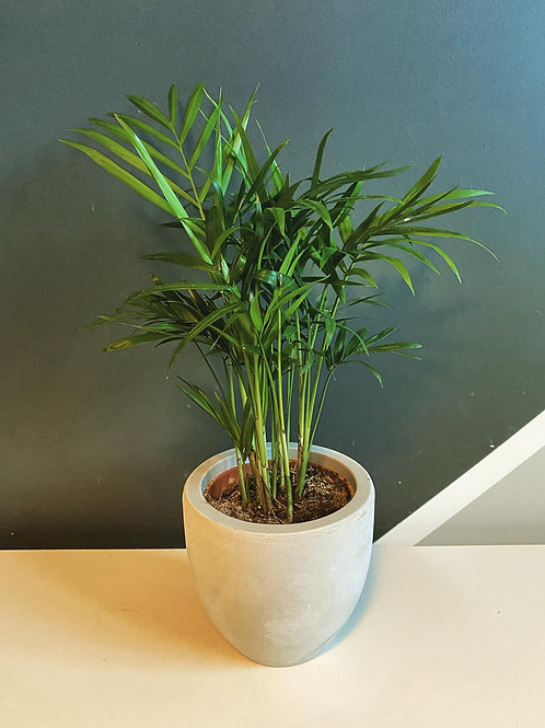 Baby Parlour Palm (Chamaedorea Elegans) with stone pot
