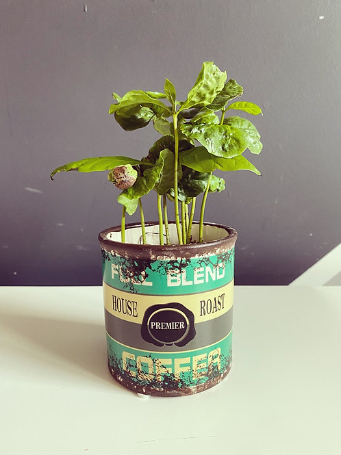 Coffea Arabica + retro pot