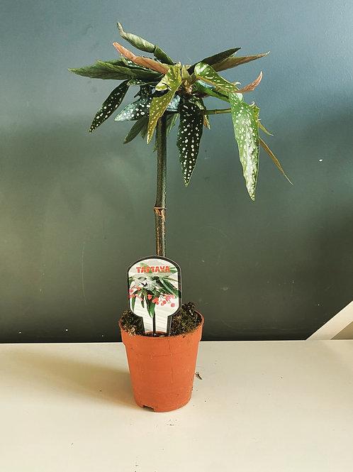 Begonia - Tamaya