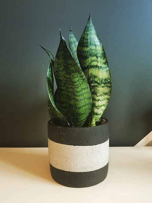 Snake Plant (Zeylanica)