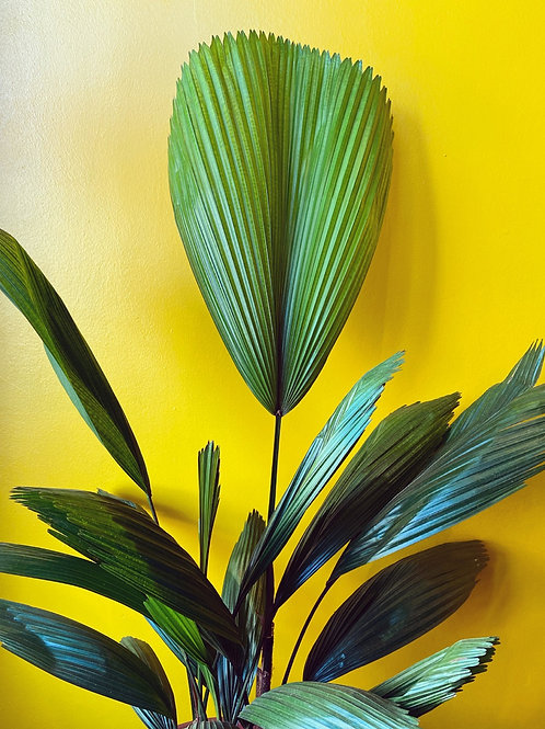 Licuala Grandis ( Fan Palm ) Local Delivery Only