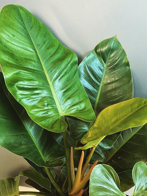 Philodendron Imperial Green - XL (Local Delivery Only)