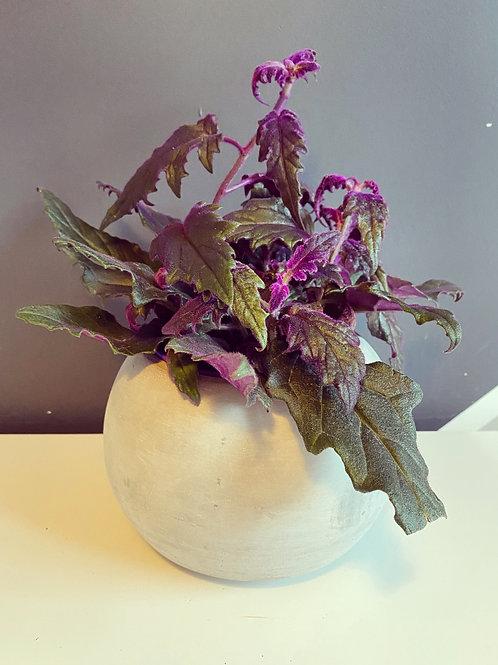 Gynura (Purple Velvet Plant)