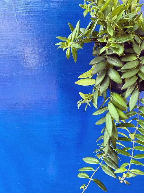 Aeschynanthus 'Caroline' (Lipstick Plant)