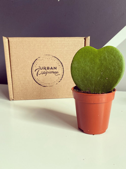 Sweetheart Plant (Hoya Kerrii)