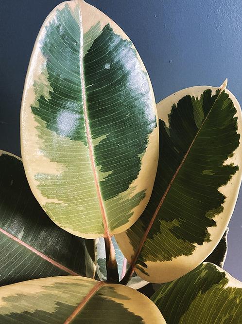 Rubber Plant (Ficus Tineke)