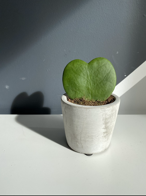 Sweetheart plant - with pot.