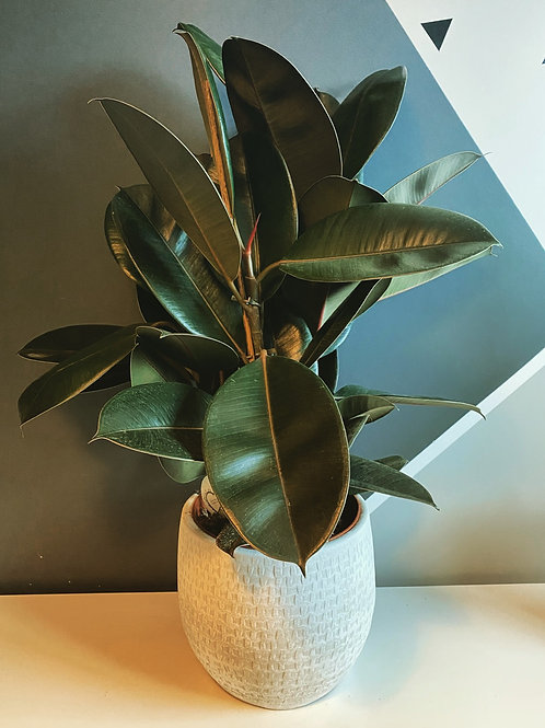 Ficus Abidjan (3 stem) Local Delivery Only