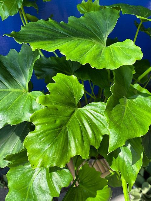 Philodendron Shangri La
