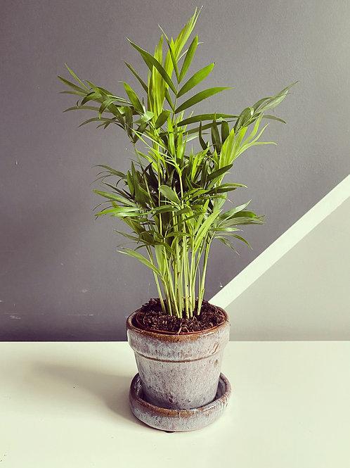 Baby Parlour Palm (Chamaedorea Elegans)