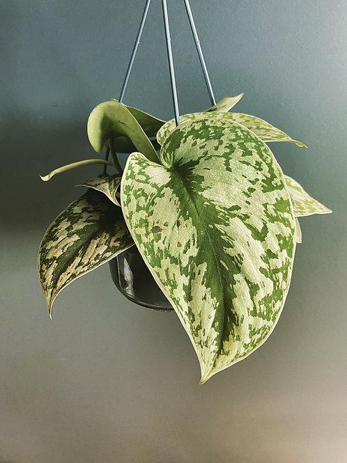 Satin Pothos (Scindapsus Pictus Trebie) in hanging pot