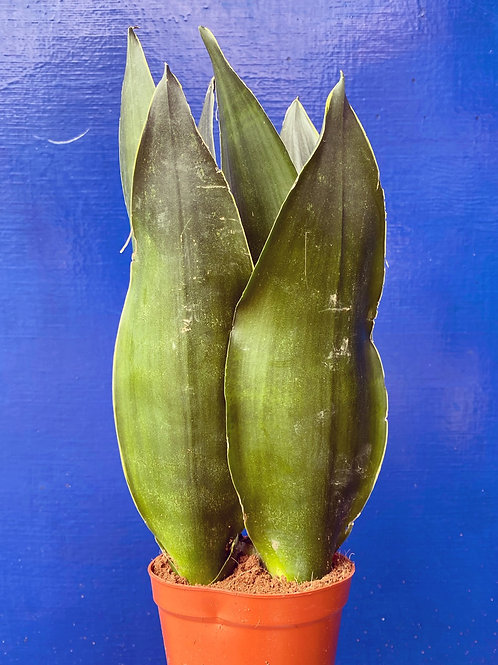 Sansevieria Black Dragon (Snake Plant)