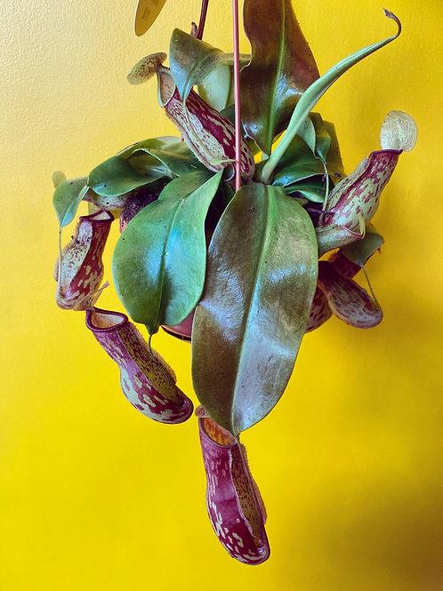 Nepenthes Monkey Jar