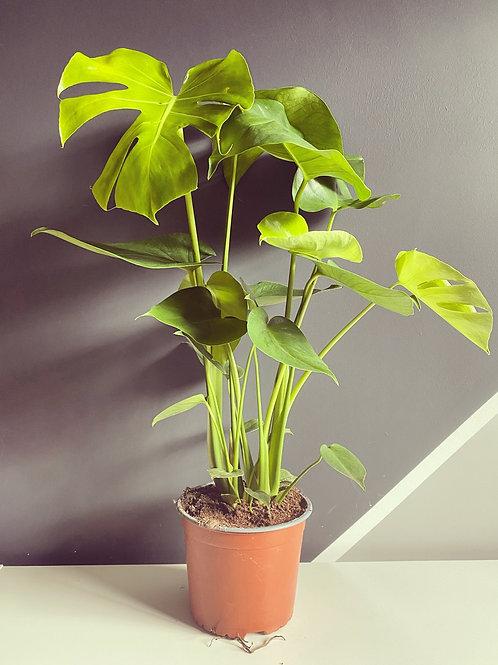 Monstera Deliciosa - (Cheese Plant)